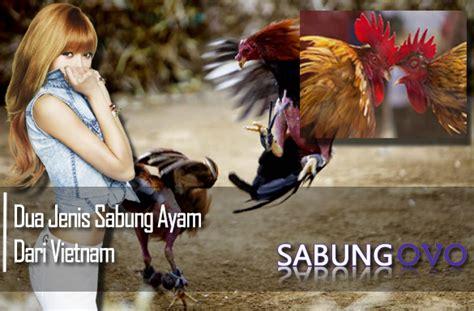 Permainan ini biasanya diikuti oleh perjudian yang berlangsung tak jauh dari arena adu ayam. Dua Jenis Sabung Ayam Dari Vietnam - Sabung OVO