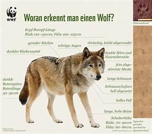 Woran Erkennt Man Tragende Wände : wolfsmanagement in brandenburg so wird das nix jun i institut f r jagd umwelt naturschutz ~ Orissabook.com Haus und Dekorationen