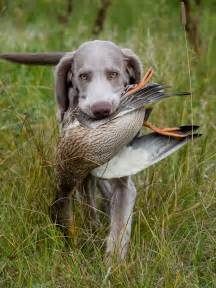 Duck Hunting Dog Breeds