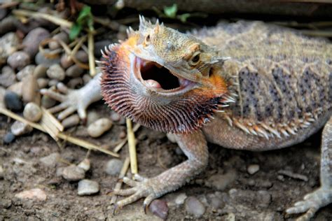 bearded names compelling reasons why exotic pets aren t a good idea