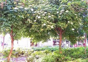 Kleiner Baum Garten : holunder als kleiner baum f r kleine g rten schwarzer ~ Lizthompson.info Haus und Dekorationen