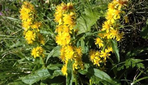 Bb Janin енчец жълт златна пръчица Herba Solidaginis стрък