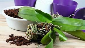 Orchideen Umtopfen Video : orchideen umtopfen in sechs einfachen schritten ~ Watch28wear.com Haus und Dekorationen