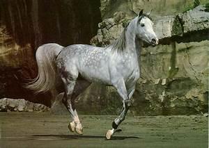 Arabian Dapple Gray Horse | My Style | Pinterest