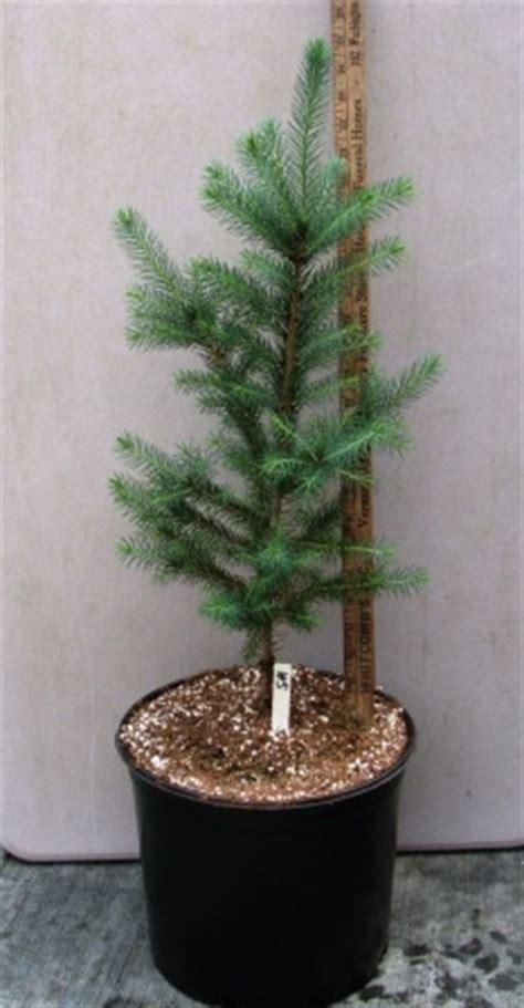 foot tall white spruce    gallon pot