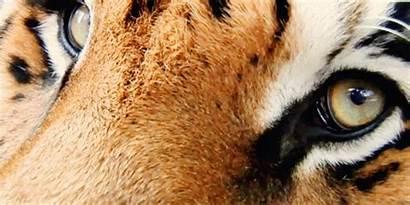 Tiger Eyes Animals Tigers Eye Cat Giphy