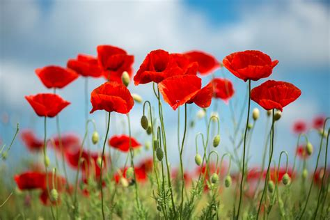 Learn About August's Birth Flower: The Poppy | Rachel Cho