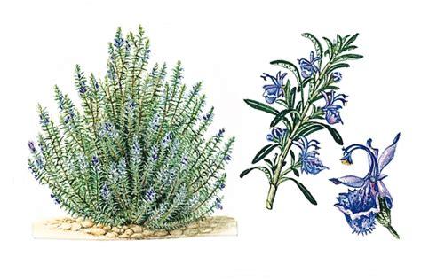 plante aromatique cuisine encyclopédie larousse en ligne romarin