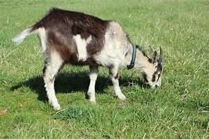 Goat Eating Grass Stock Image  Image Of Green  Farm  Horns