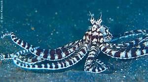 Polpo mimetico trasformista,Thaumoctopus mimicus,Mimic octopus