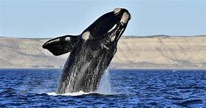 Endangered North Atlantic Right Whale On The Brink Of