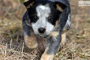 Australian Cattle Dog Blue Heeler