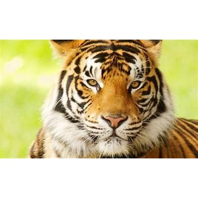 Bengal Tiger – Panthera Tigris TigrisEndangered Animals