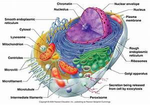Diagram Of A Typical Human Cell