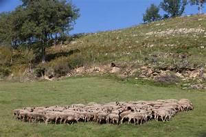 La brebis Montagne Noire Conservatoire du patrimoine biologique régional Région Occitanie