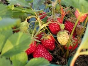 Plant De Fraisier : plants de l gumes fraisiers fraisier cijos e remontant ~ Premium-room.com Idées de Décoration