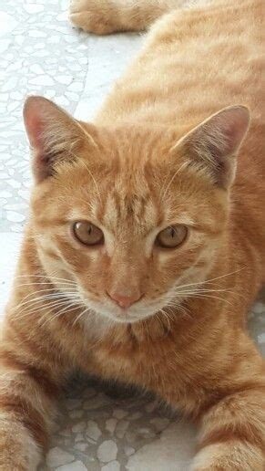 Best Images About Golden Tabby Cat Pinterest