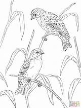 Coloring Pages Canary Canaries Atlantic Printable Supercoloring Popular sketch template