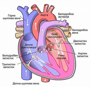 File Diagram Of The Human Heart  Cropped  Mk Svg