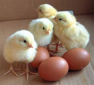 Mrs. Barker's Grade Three Class: BABY CHICK EGGS HAVE ARRIVED!  Chick
