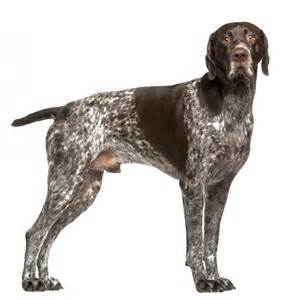 german shorthaired pointer breed gallery