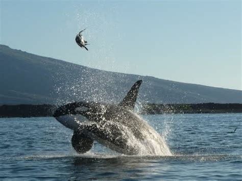 orcas playing juggling  green sea turtle