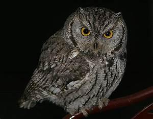 Photos of birds of Utah, Western Screech Owl, 1. In the ...