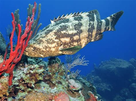 grouper goliath fish facts intriguing know need things freshwater animal