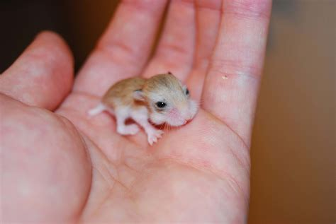 baby hamster the cutest baby hamsters you ve ever seen hamster fun pics