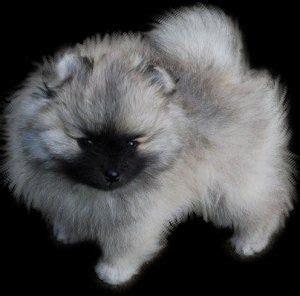 wolf sable silver black pomeranian  cutest