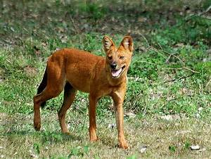 TrekNature | Indian Wild dog/Dhole Photo