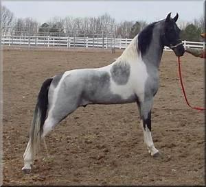 Blue Roan Homozygous Tobiano Tennessee Walking Horse ...