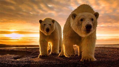 white polar bears par crbeni clouds sunset desktop