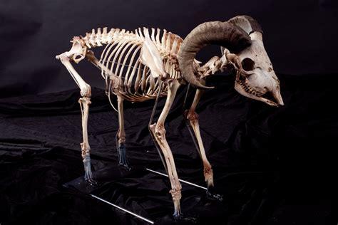 Goat Decor by Props For Rent Amp Portfolio Haunted Mansion Goat