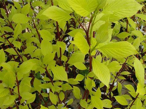 cornus alba aurea cornouiller arbustes  fleurs