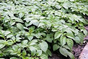 Exotic Herbs And Plants In Mao Naga Cuisine