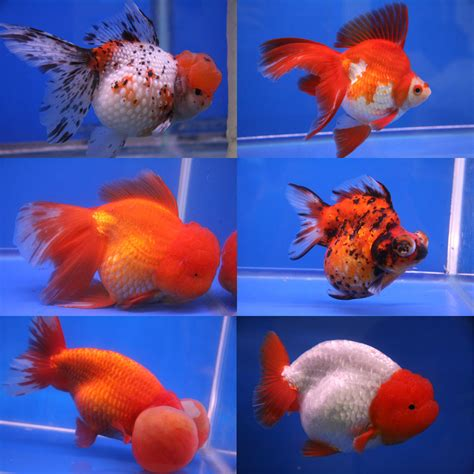 goldfish  aquarium fishnot  eat