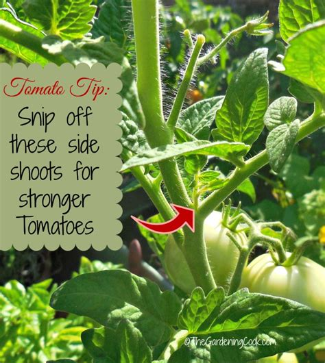 Growing Great Tomatoes  Dos And Don'ts For Best Success