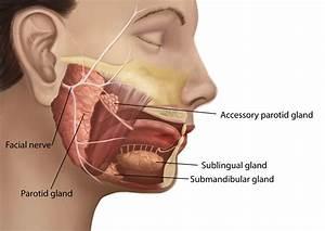 Parotid Gland Anatomy  Parotid Tumor  Accessory Parotid