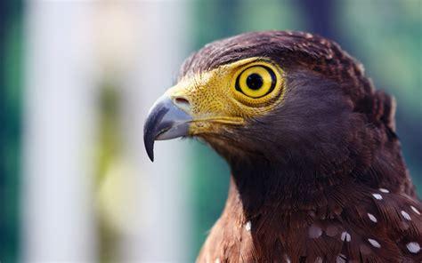 birds, Nature, Animals, Hawks Wallpapers HD / Desktop and ...