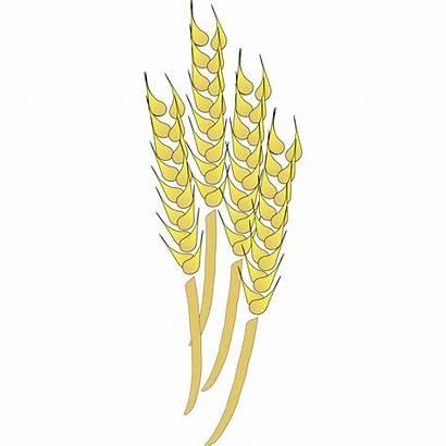 Wheat Clipart Grain Clip Harvest Stalk Cliparts
