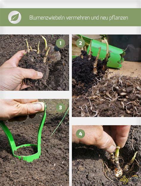 wann blumenzwiebeln pflanzen blumenzwiebeln pflanzen ausgraben vermehren und umpflanzen anleitung diybook ch