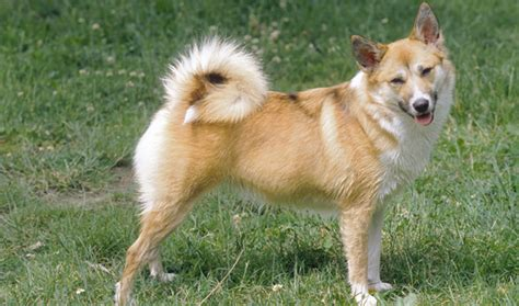 icelandic sheepdog breed information