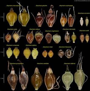 Eleocharis Quinqueflora  Few