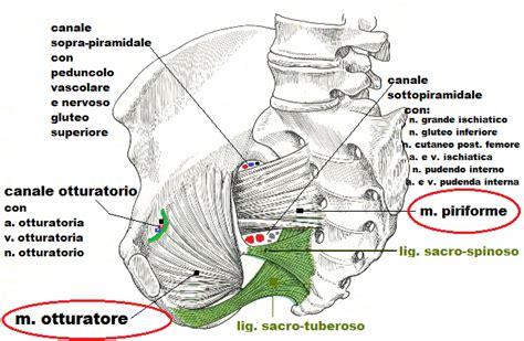 Muscoli Pavimento Pelvico by Anatomia Pavimento Pelvico