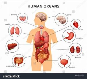 Human Body Internal Organs  Stomach And Lungs  Kidneys And