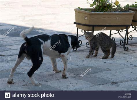 dog  cat fighting stock  dog  cat fighting