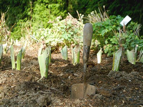 how to care for iris growing iris iris care