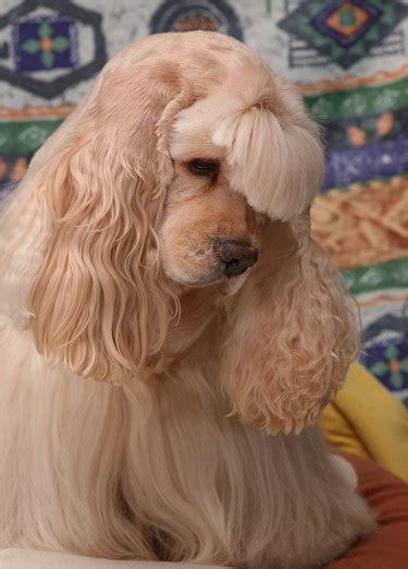 cute dogs cocker spaniel dog