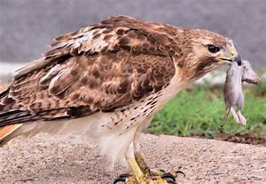 Hawkwatch at the Franklin Institute: John Blakeman on how ...